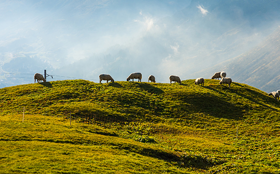 Schafherde auf einem Hügel